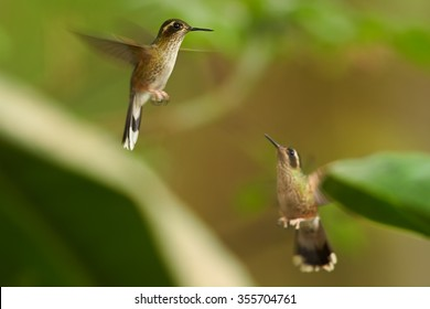 Two tiny,brown Adelomyia melanogenys,Speckled Hummingbird hummingbirds in fight.  Blurred tropical yellow and green background. Ecuador.