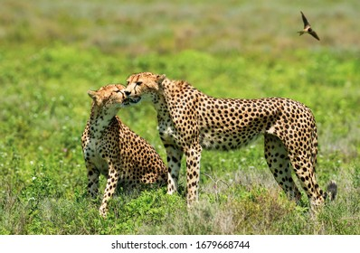 Two tired Cheetahs after a hunt