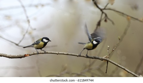 Two titmouse on a branch of a willow in spring