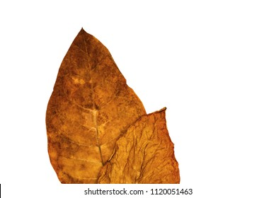 Two Tobacco dry leaves on white background