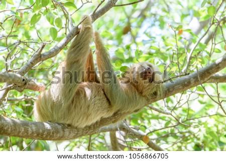Two Toed Sloth Manuel Antonio National Stock Photo Edit Now
