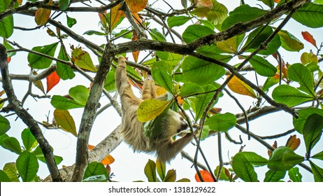 Two toed wild Sloth hanging on tree eating leave in Cahuita national park costa rica