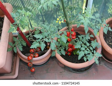 Two tomato plants in the balcony pots with a bunch of red vegetables
