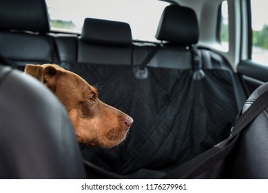 Two tone brown dog riding in the backseat of a car, view from inside car, black seats and seat protector