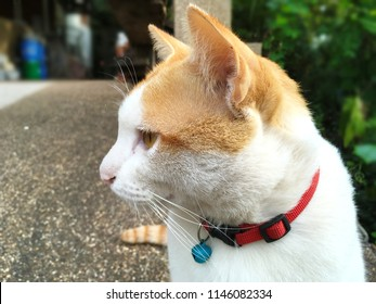 Two tone cat (white and orange) with red collar and blue small bell looking to the left side of photo with serious posture or bored look on blur background