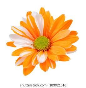 two tone chrysanthemum isolated on white background