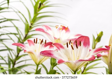 Two tone white and red asian lily flowers in front of green stem