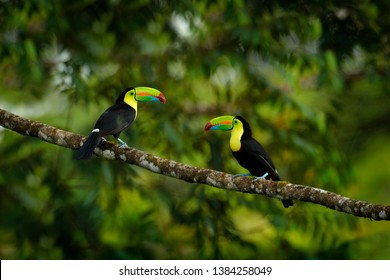 Two toucans sitting on the branch in the forest, green vegetation, Costa Rica. Nature travel in central America. Pair Keel-billed Toucan, Ramphastos sulfuratus, birds with big bill. Wildlife, habitat.