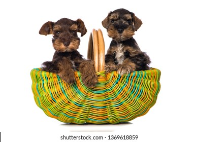 Two toy schnauzer puppies in a colorful basket on white background