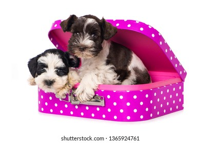 Two toy schnauzer puppies in a pink suitcase on white background
