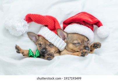 Two Toy terrier puppies wearing red santa's hats sleep together  under a warm white blanket on a bed at home and holds gift box. Top down view