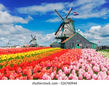 two traditional Dutch windmills with tulips rows at spring day, Netherlands