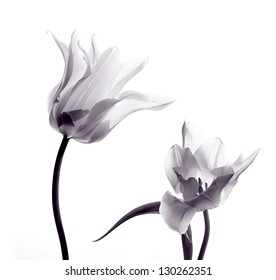 two transparent tulips in back light on white background