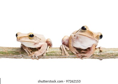 Two, tree frog on dry branch