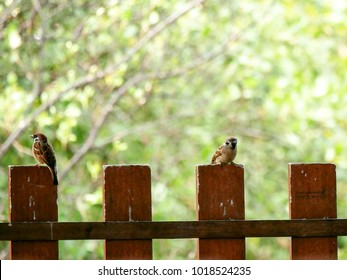 Two Tree Sparrows are sitting on the old wooden brown fence. One is looking for something or someone outside house and another one is gazing considerably on shutter eye in a rural ,south of Thailand