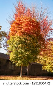 Two trees with autumn leaves that look like a flame with red at the top and green at the bottom in front of dark house