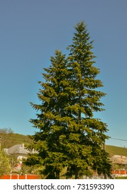 Two trees, two Christmas trees