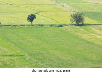 Two trees in a field