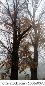 Two trees in the fog. Highly reduced visibility. Bad weather conditions. Late fall. Orange, red falling leaves. Bare tree branches peep out of the mist