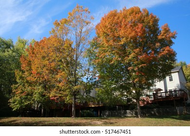 Two Trees with Leaves Changing Color from Green to Bright Orange Next to Some White Houses with Blue Sky and Some Wispy Clouds Overhead, Burke, Virginia