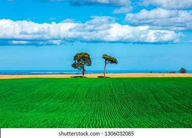 Two Trees on a Corn Field on Murge, Apulia, Italy