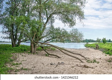 Two trees, one with fallen branches, on a sandy beach in a wild area of the floodplains of the river Waal near Woudrichem, The Netherlands