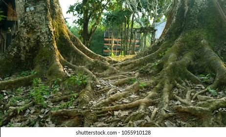 Two trees are planted together and the roots are interwoven.
