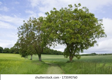 Two trees sharing their foliage, over a footpath in green grass fields.