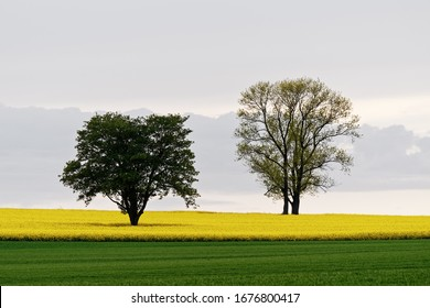 Two trees stand in a field of rape, in front of them a green meadow, in the sky a cloud formation and high fog - Location: Germany, Dresden, outskirts of Dresden, Unkersdorf, Unkersdorf Street