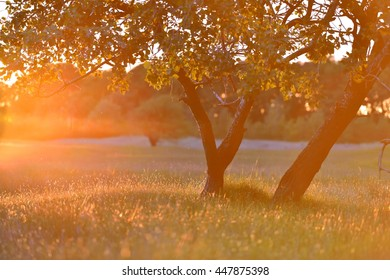 Two trees with sunny beams in a meadow during sunset