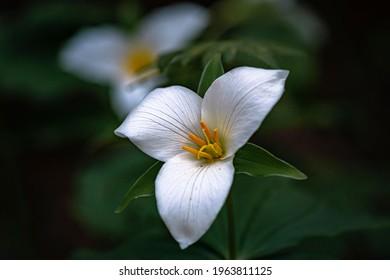 Two trillium flowers in the forest.