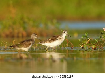 Two Tringa nebularia, Common Greenshank, waders on autumn migratory stop in typical environment. Birds in water mirroring green vegetation, photo from ground level. Czech republic, Europe.