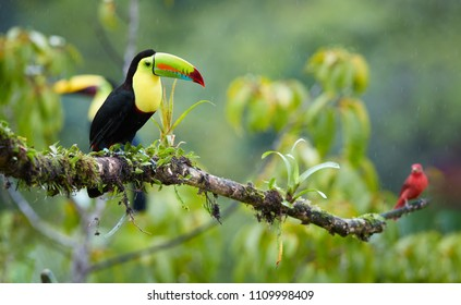 Two tropical birds with enormous beak, Keel-billed toucan, Ramphastos sulfuratus, perched on a mossy branch in the rain together with scarlet tanager. Costa Rican colorful toucan,wildlife photography.