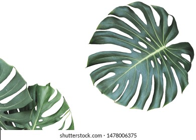 Two tropical jungle monstera leaves isolated on white background