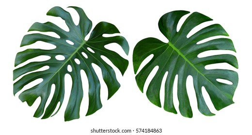 Two Tropical jungle Monstera leaves isolated, Swiss Cheese Plant, isolated on white background