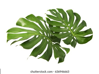 Two Tropical jungle Monstera leaves isolated, Swiss Cheese Plant, isolated on white background, with clipping path