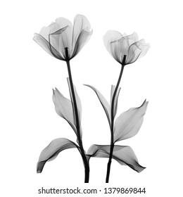 Two tulip flower X-ray - monochrome on white.
