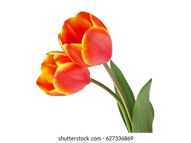 Two tulips isolated on a white background