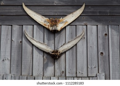 Two tuna tail fins, hanging wooden weathered wall of a fisherman's shack in PEI Canada