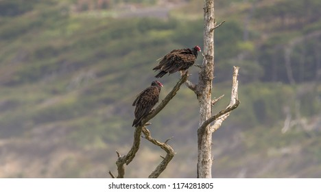 Two turkey vultures (Cathartes aura) perched on a branch of a dead tree photographed in summer from the west end of Yaquina Head, Yaquina Head Outstanding Natural Area, Newport, Oregon.