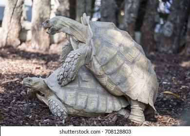Two turtles crossing