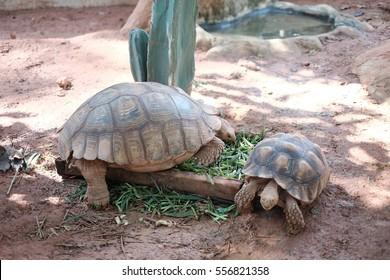 Two turtles eat vegetable