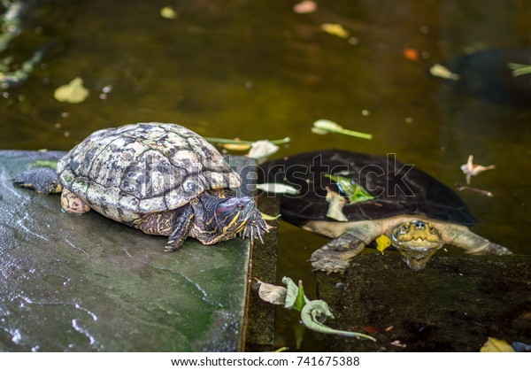 Two Turtles Garden One Turtle Water Animals Wildlife Stock Image 741675388