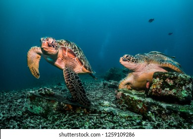 Two turtles, one swimming and one resting in its spot on the coral