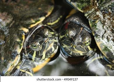 Two turtles rubbing cheeks