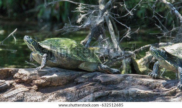 two turtles slowly moving along an decaying log