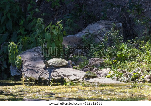 two turtles sunning themselves on an old drainage pipe