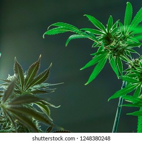 Two types of pot plants in full bloom.