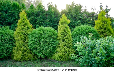 Two types of thuja alternately create a beautiful hedge. Row of green trees in the park. Row of thuja trees.