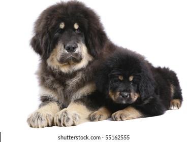 Two underlying Tibetan Mastiff puppy on a white background.